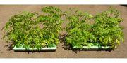 Tomaten Pflanze Paprika Gurken Gemüsepflanzen