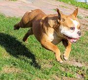New English bulldog Hündin mit