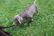 Labradorwelpen Silber und Braun suchen