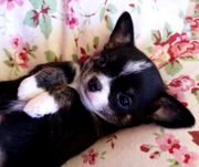 Chihuahua Welpe Hündin kurzhaar m