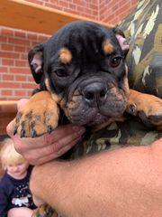 englische Bulldoggen mit Ahnentafel