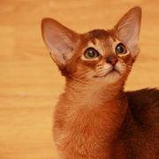 Abessinier Kitten mit Stammbaum abzugeben