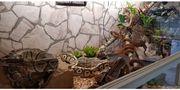 Schlangen 3 Königspython