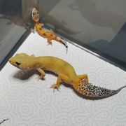 0 0 2 Leopardgeckos NZ