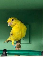 Kanarienvogel aus Raza Zuchtreihe
