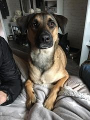 Belgischer Schäferhund-Mix sucht dringend