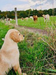Labrador Golden Retriever Hündin