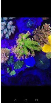 Acropora Meerwasser SPS