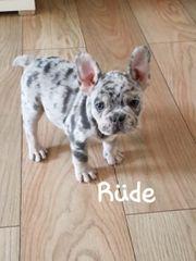 französische Bulldogge Welpen 14 Wochen
