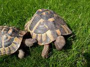Paar griechische Landschildkröten 1999 2004