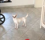 Chihuahua Hündin sucht liebevolles zuhause