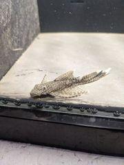 Ancistrus long fin