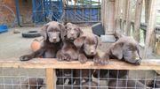 Wurfankündigung reinrassiger Labradorwelpen 1te Augustwoche