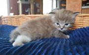 Ragdoll Kitten suchen ab Mitte