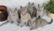 Hübsche reinrassige BKH Kitten suchen