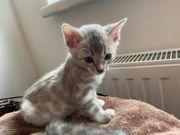 Wunderschöner bengal kater kitten