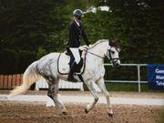 Dressurpony Turnierpony braves Pony