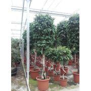 Ficus Benjamina columnar - Treurvijg art66525