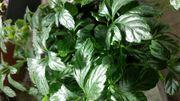 Unsterblichkeitspflanze Jiaogulan