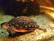 Tropfenschildkröten-Weibliche
