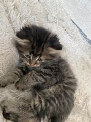 Schottisch BKH Kitten mix