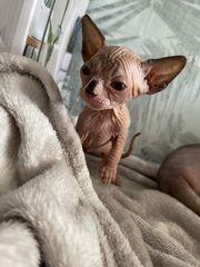 Sphynx Katzen Baby