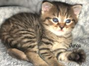 BKH Kitten Black Golden Tabby