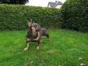 Französische Bulldogge Rüde sucht ein