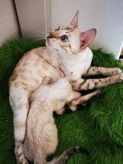 Bengal Kitten m Stammbaum Abgabebereit