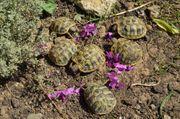 Griechische und Russische Landschildkröten von