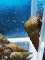 Brotia herculea Wasserschnecke Aquarium