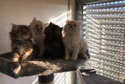 Perser Kitten Babys