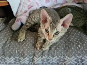 Don Sphynx Kitten Katzenbabys