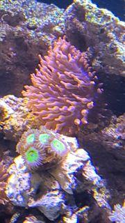 Kupferanemone Meerwasser