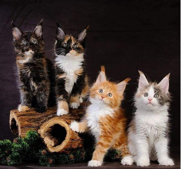 Maine Coon Kitten reinrassig Abgabe