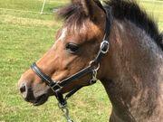 Appaloosa Pony Stute