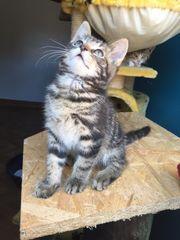 Baby Katze Manila 9 Wochen