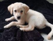 Süßer Reinrassiger Labradorwelpe sucht ein