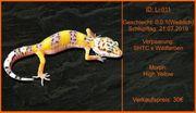 Leopardgecko Nachwuchs aus Zucht