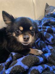 Chihuahua in liebevolle Hände abzugeben