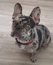 Französische Bulldogge 9 Monate Junghund