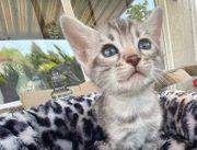 Bengal Kitten Silber oder Silber
