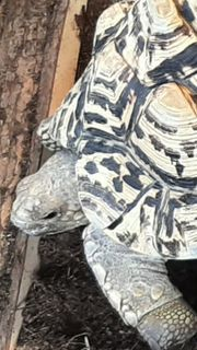 2x Pantherschildkröten 2010
