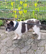 Französische Bulldogge Merle Deckrüde