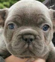 Französischen Bulldogge Welpen mit Ahnentafel