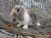 Reinrassige Mini Zwergwidder Kaninchen Babys-geimpft