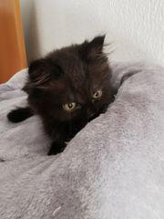 Zuckersüße BLH Kitten zu verkaufen