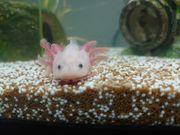 Axolotl Jungtiere abzugeben