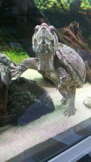 Mosschusschildkröte