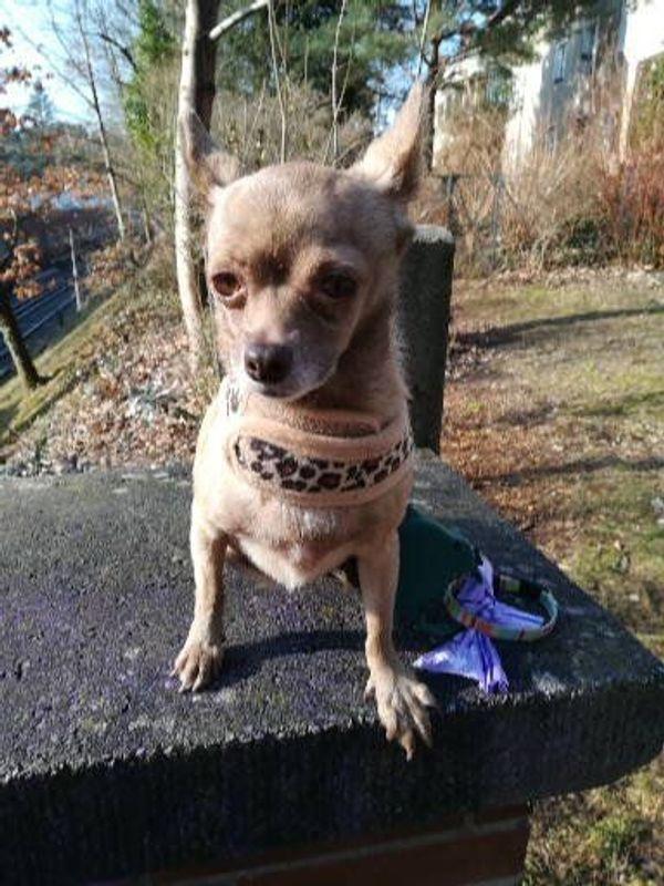 Suche Chiahuahua Hundin In Berlin Hunde Kaufen Und Verkaufen Uber Private Kleinanzeigen